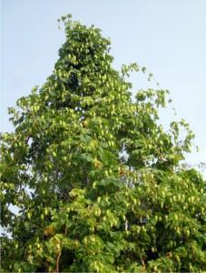 Hop plant tall